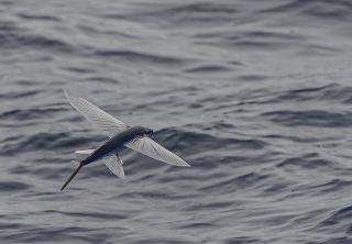 The Australasian flying fish, Cheilopogon pinnatibarbatus melanocercus, gliding over the water.