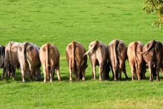 Cows rear view