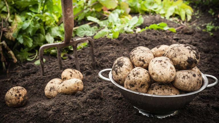 potato blight: harvest on soil