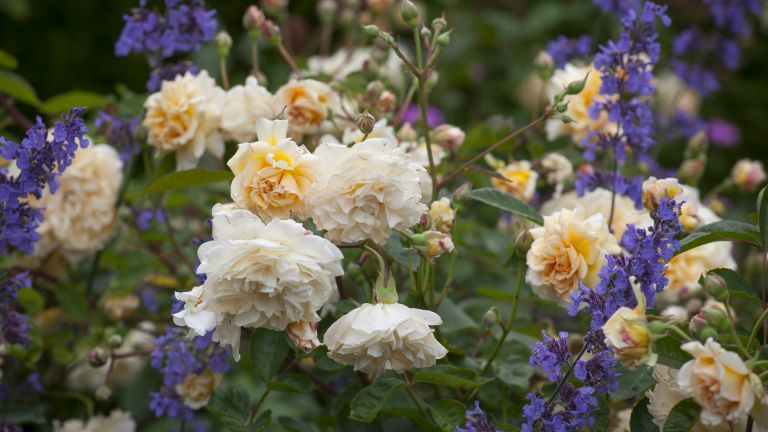Rose and catmint at The Old Garden at Hidcote, Gloucestershire