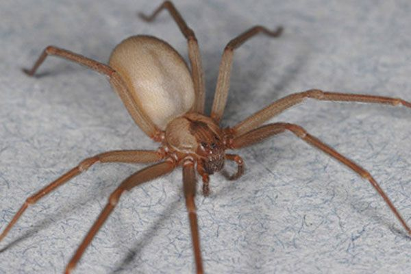 Brown Recluse Spiders Facts Bites Symptoms Live Science