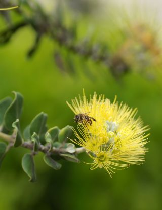 "A honeybee on a Lehua blossom from the native Hawaiian tree ""Ohi'a"""