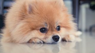 Stock photo of Pomeranian
