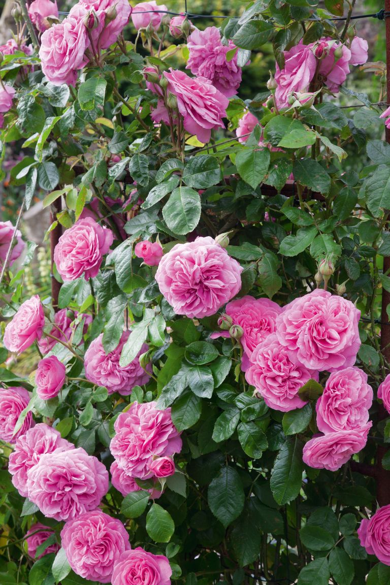 Planting roses: rose 'gertrude jekyll' in a small garden