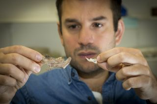 Julien Louys, a paleontologist and research fellow at the Australian National University, compares a giant rat fossil jaw with a modern rat's.