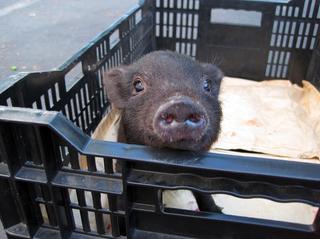 Piglet in a crate