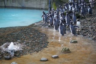 Belfast Zoo, gentoo penguins