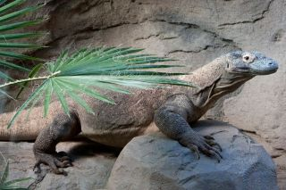 a young komodo dragon at the Denver Zoo