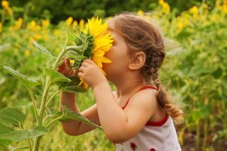 A little girl pulls a sunflower close to her face to smell it.