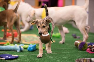Puppy carrying a tiny football.