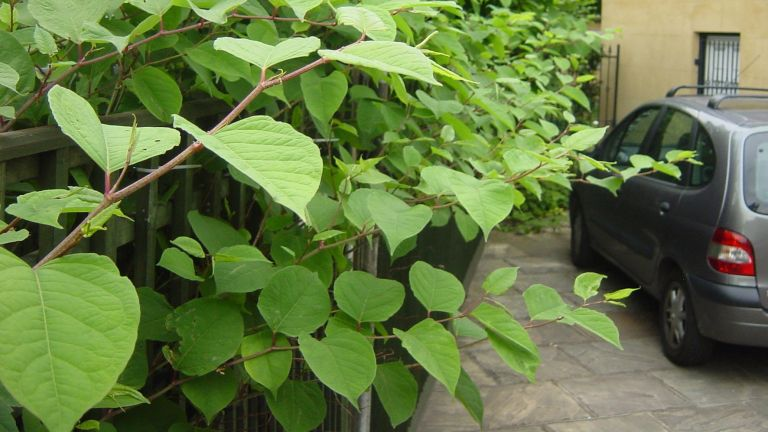 Japanese knotweed by a driveway