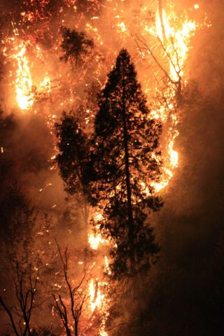 Tree Surrounded by Flames During the Rim Fire