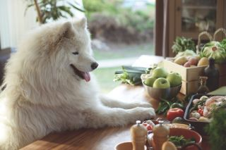 Samoyed in kitchen with raw fruit and veg