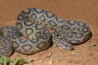 An adult Russell's viper, photographed in India.