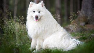 Samoyed breed profile: Portrait photo of a Samoyed sat outside