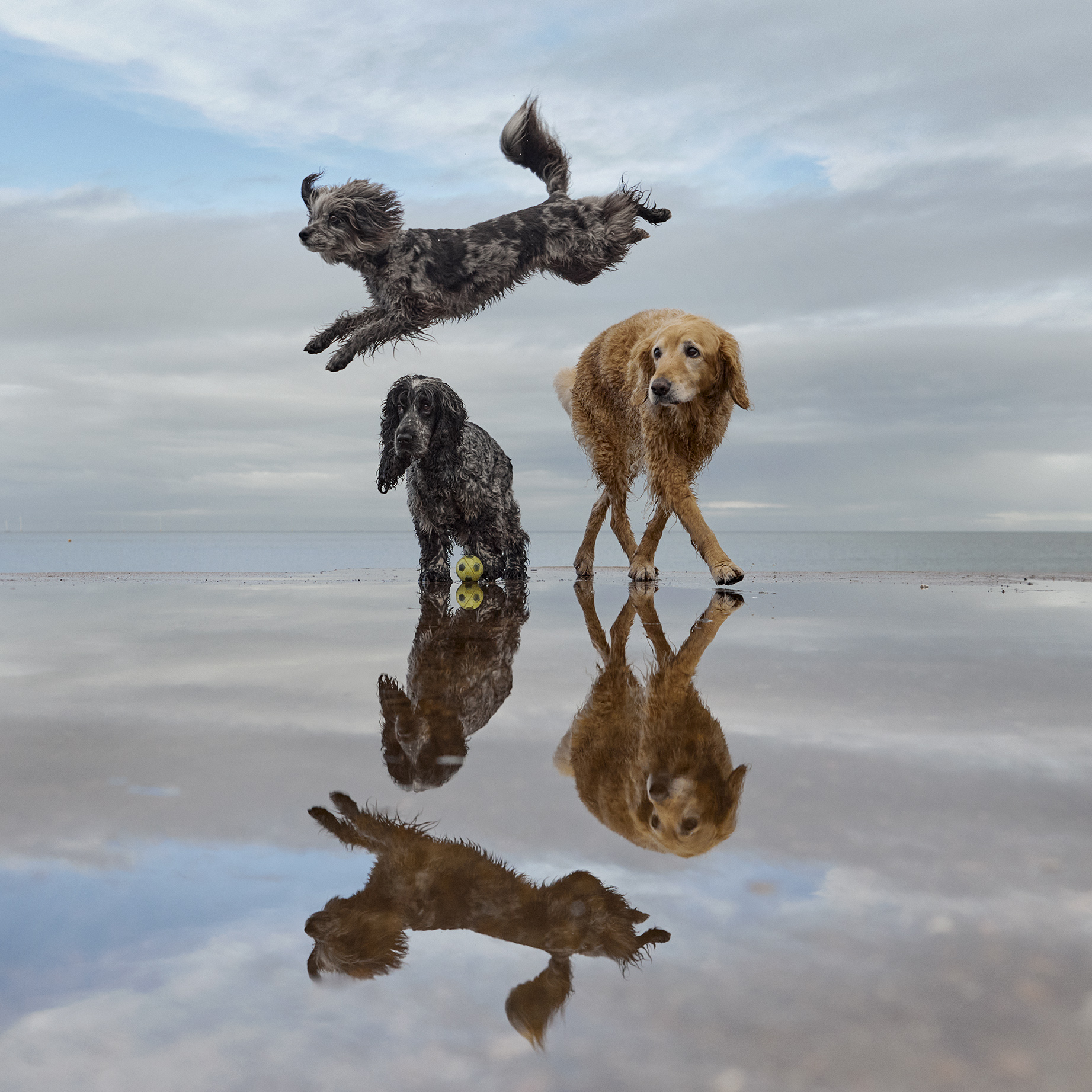 Three dogs on a beach with one leaping in the air