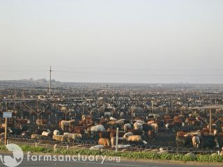 Central Valley cattle ranch
