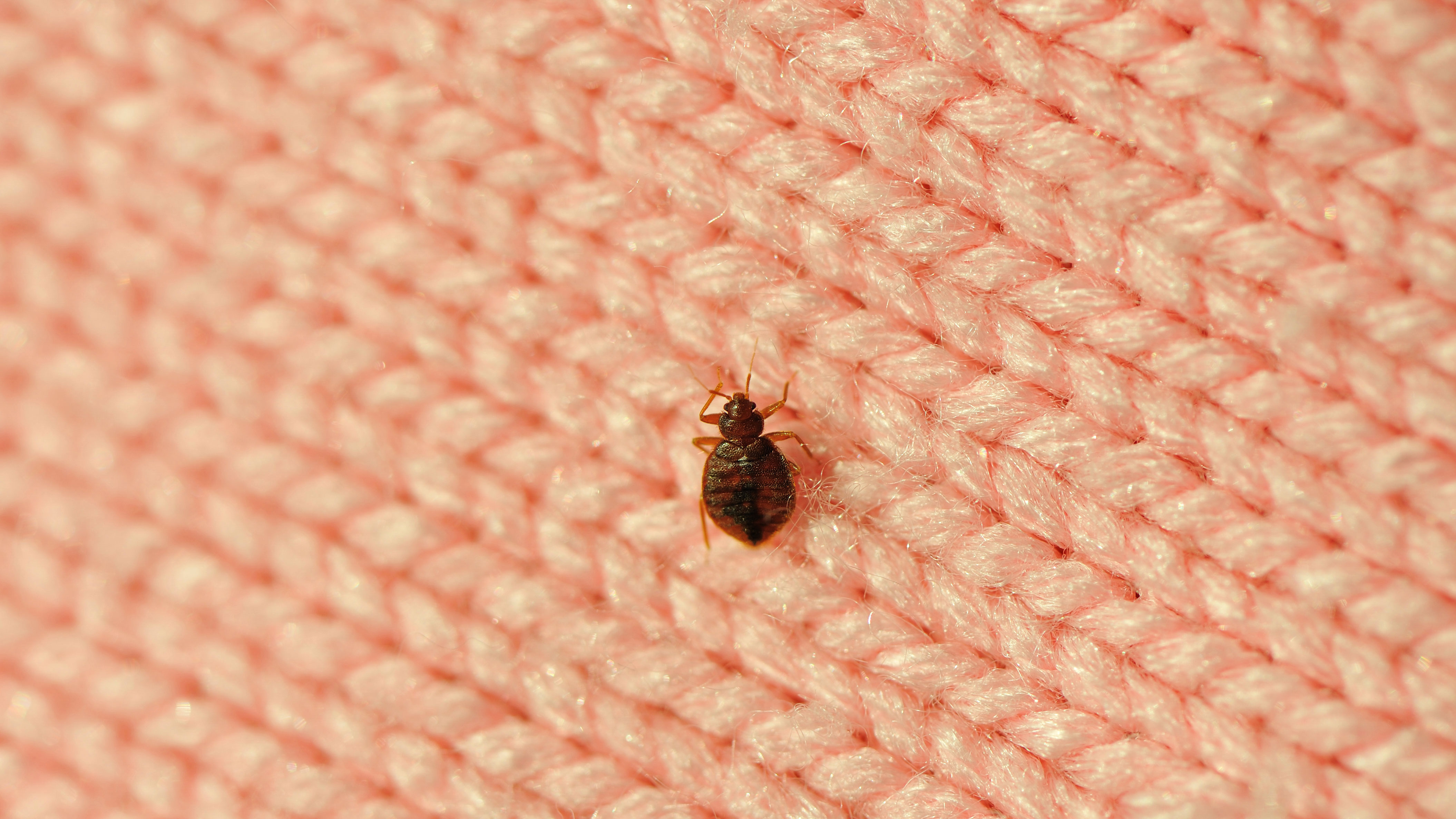 How To Get Rid Of Bed Bugs Fast Using The Best Products And Home Remedies Real Homes