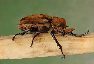 Megasoma elephas, commonly called the elephant beetle, can grow to a length of 5 inches (12.7 centimeters).