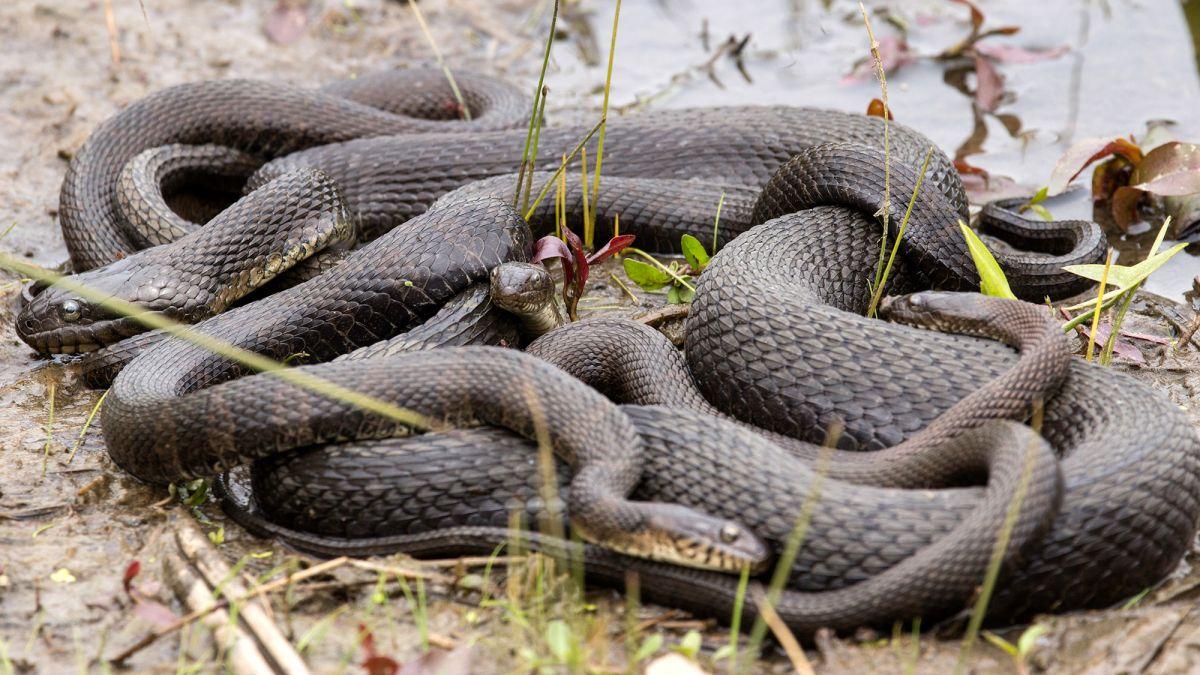 Florida officials cordon off park for annual snake orgy