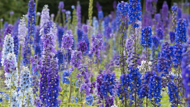 what to plant in july: delphiniums in flower