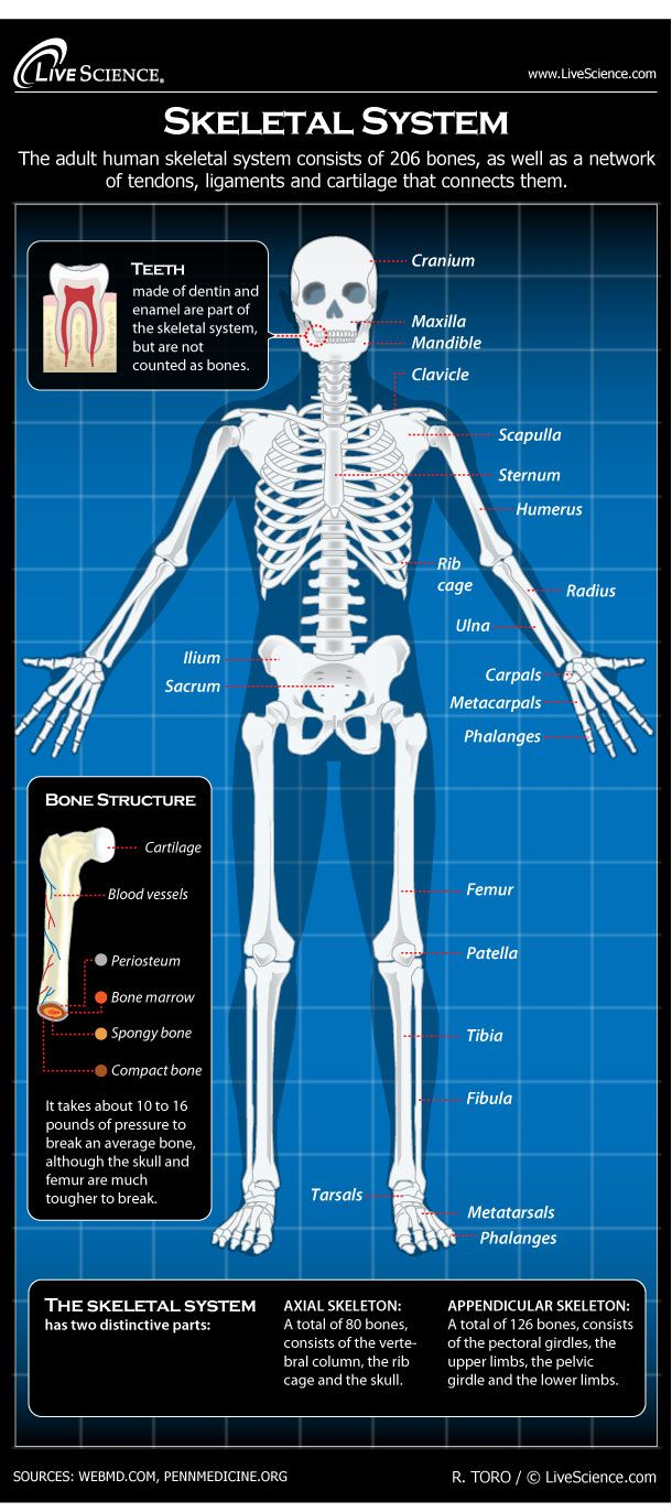 Diagram Of The Human Skeletal System  Infographic