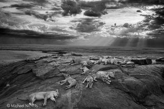 Photo contest lion photo