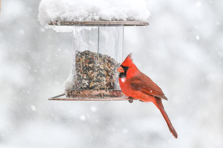 feeding birds in winter Red Cardinal sits perched on a bird feeder during a snow fall
