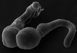 pollen tube closeup