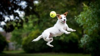 A Jack Russell jumping after a ball