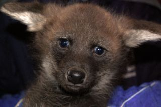 maned wolf pup at the vet