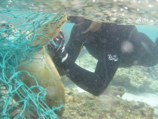 A diver cuts a green sea turtle from a net.