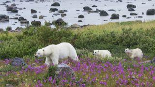 A polar bear family on the move