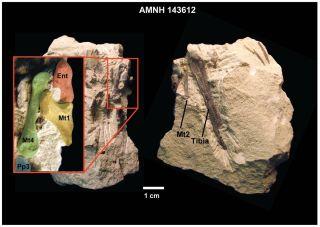 <i>Notharctus tenebrosus</i> fossil