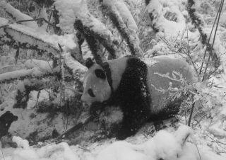 national science foundation, nsf, behind the scenes, bts, panda ecology, endangered panda populations, zoning and panda populations, ecological impact of zoning,