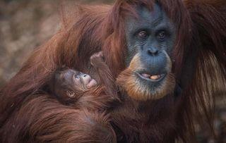 The Secret Life of The Zoo: EP 10 - Emma and Kesuma the Sumatran Orangutan