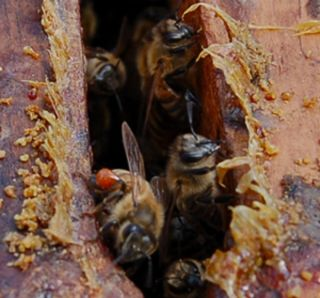 Bees are entering and exiting their hive through an entrance covered in a yellowish waxy layer.
