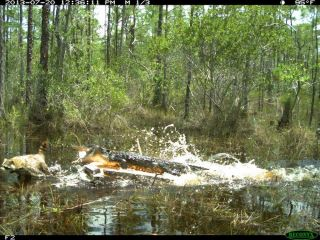 Alligator Attacking Raccoon