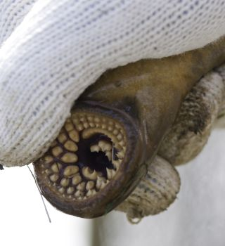 A sea lamprey's sharp teeth are used to rasp into the skin of fish to parasitize them.