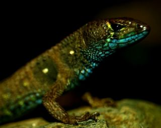 colorful lizards, new lizards, brightly colored lizards, new lizards discovered, pretty lizards, potamites montanicola, new species discovery, new species news