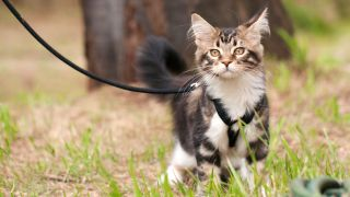 Walking a cat on a leash is becoming increasingly popular, but what do the experts think?