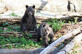 bear-cubs-110715-02