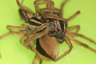 wolf spiders threesomes