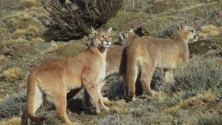 Pumas on the prowl