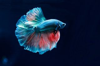 A colorful blue and red betta fish against a black background.