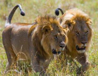 Two big male lions on the hunt. National Park. Kenya.