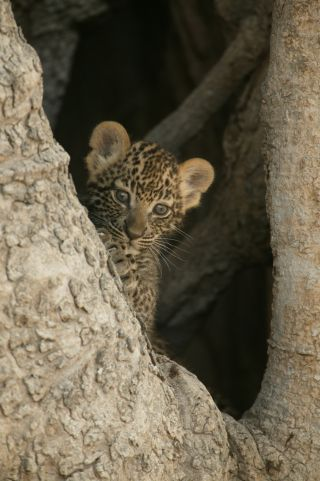 National Geographic's Unlikely Leopard