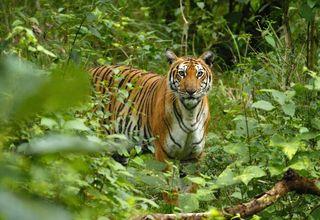 wcs-tiger