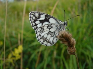 Marbled white butterfly relocated species