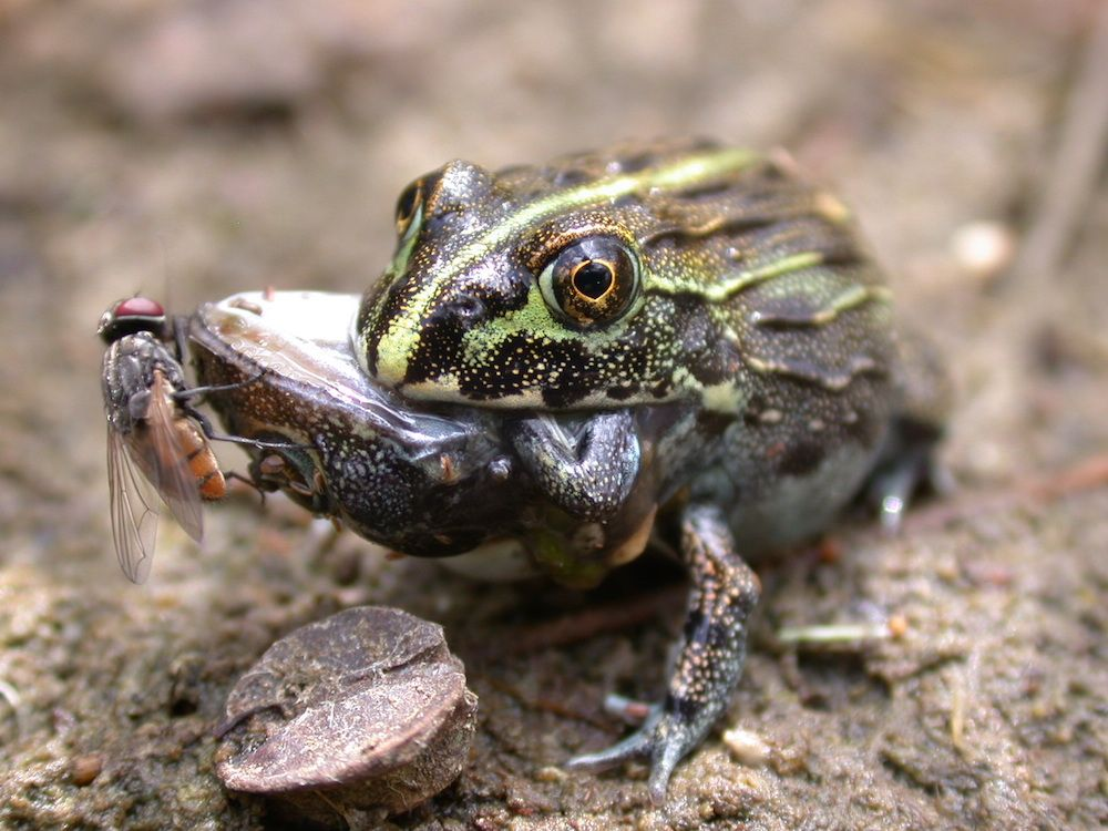 Frogs Sometimes Eat Each Other